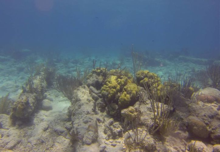 Los cambios de temperatura del agua afecta a los corales. (Israel Leal/SIPSE)