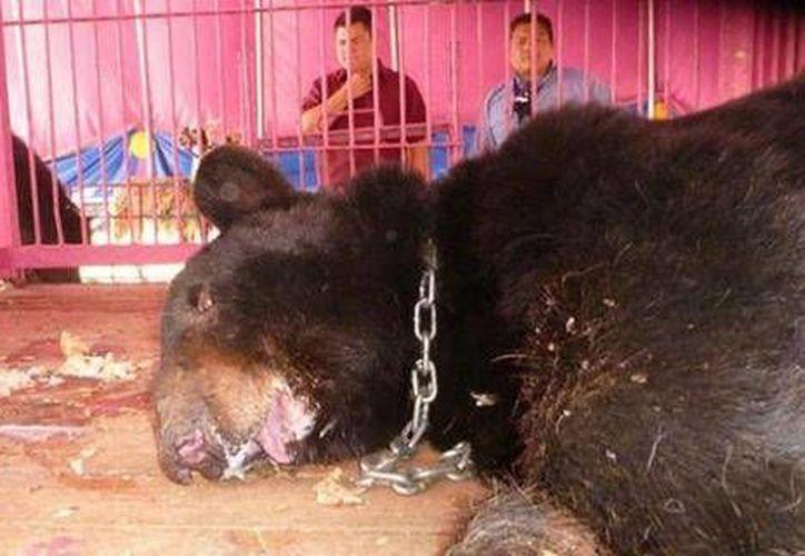 La imagen del oso asegurado al Harley Circus se convirtió en estandarte de la lucha para la prohibición de los animales en los circos. Al animal le fue desprendida la mandíbula para que no atacara a su entrenador. (SIPSE/Archivo)