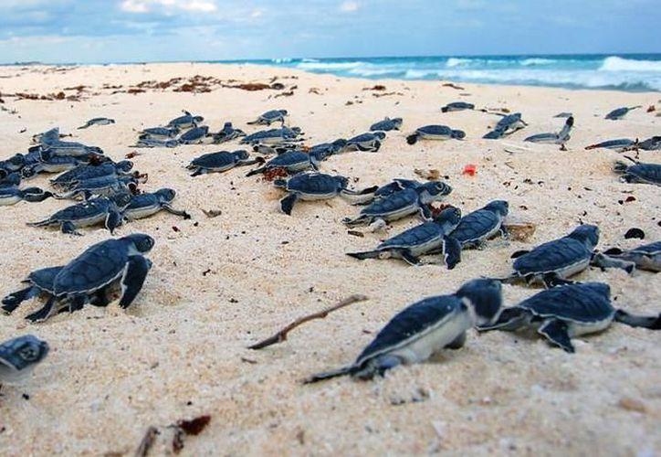 La temperatura de los arenales influye en el sexo de las tortugas. (Foto: Contexto/SIPSE)