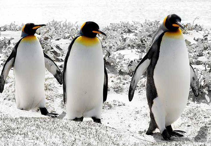 Los científicos calculan que quedarían tan solo unos 240 mil pingüinos en la isla. (Internet)