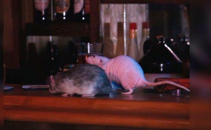 Se podrá acariciar las ratas mientras se bebe en el bar ¿pagarías por eso?. (Foto: Internet)