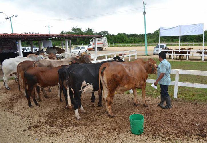 En el lugar se reunieron 20 productores con 230 cabezas de ganado mayor y menor.(Juan Rodríguez/SIPSE)