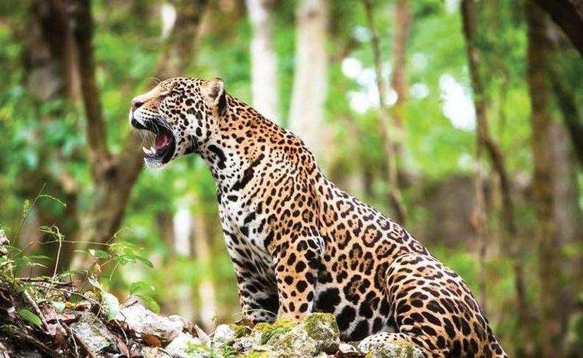 La población de jaguares es de 4 mil 800 en todo el país. (Archivo/Sipse)