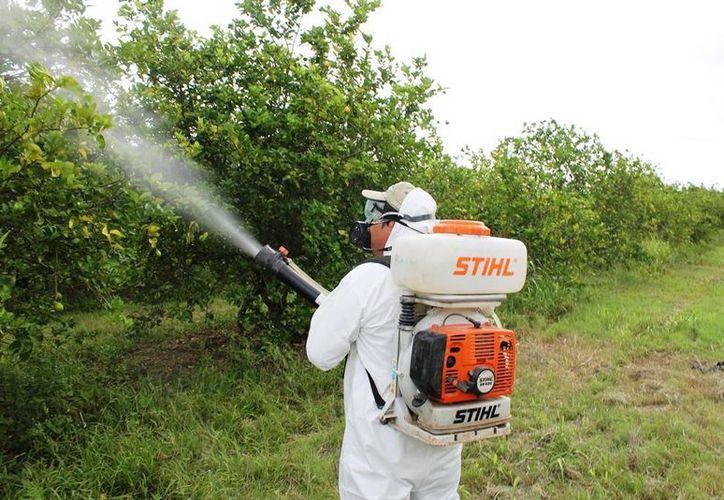 Con recurso se combatirá el HLB de los cítricos, la mosca de la fruta y del mediterráneo, la cochinilla rosada, el Trips oriental y el ácaro rojo. (Edgardo Rodríguez/SIPSE)