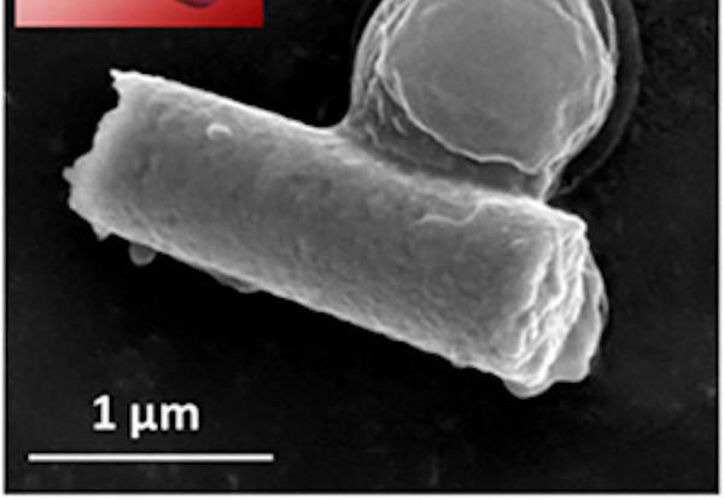 El recubrimiento de oro de los nanorobots responde al ultrasonido, lo que les da la capacidad de nadar rápidamente. (Foto: Quo).