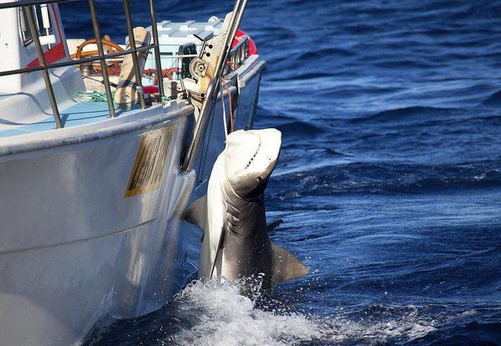 Un tiburón tigre es capturado en febrero de 2014 en aguas de Australia Occidental. Las autoridades autorizaron la caza de escualos de más de tres metros con el fin de proteger a los bañistas. (Archivo/EFE)