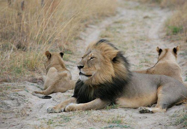Imagen de Cecil, un conocido león que fue asesinado por un cazador estadounidense causó indignación internacional. (AP)