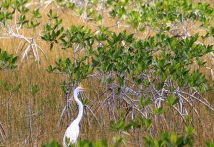 De las 54 especies de mangle, cuatro predominan en México. (Harold Alcocer/SIPSE)