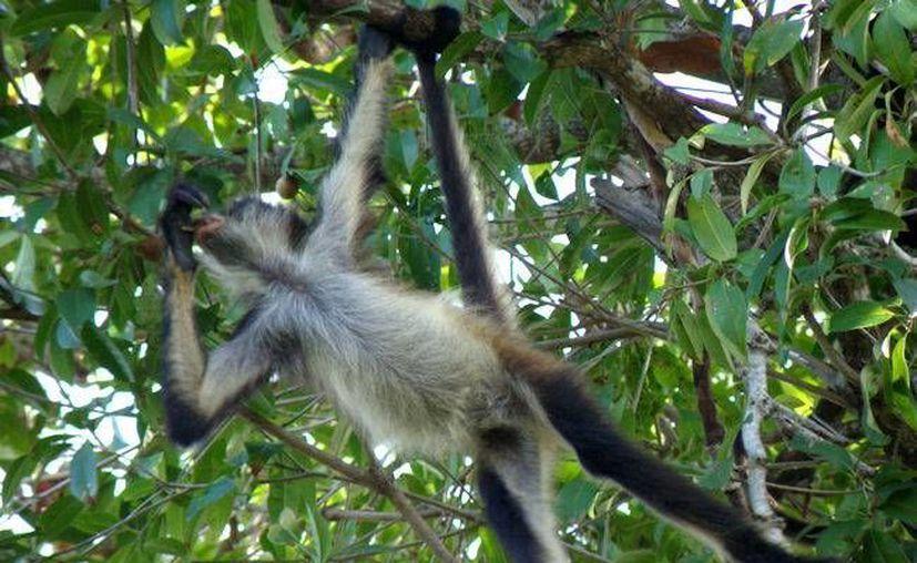En el lugar habitan más de 50 monos araña, que según los encabezados del proyecto serían reubicados o en el peor de los casos ahuyentados. (Foto de Contexto/Internet)