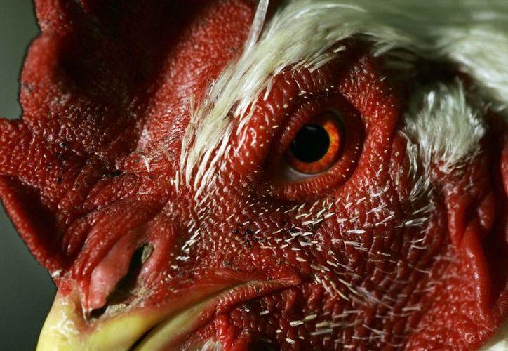 La animales infectados con el virus H5N8, una variante altamente patógena, son gallinas de Guinea y pollos. (EFE/Archivo)