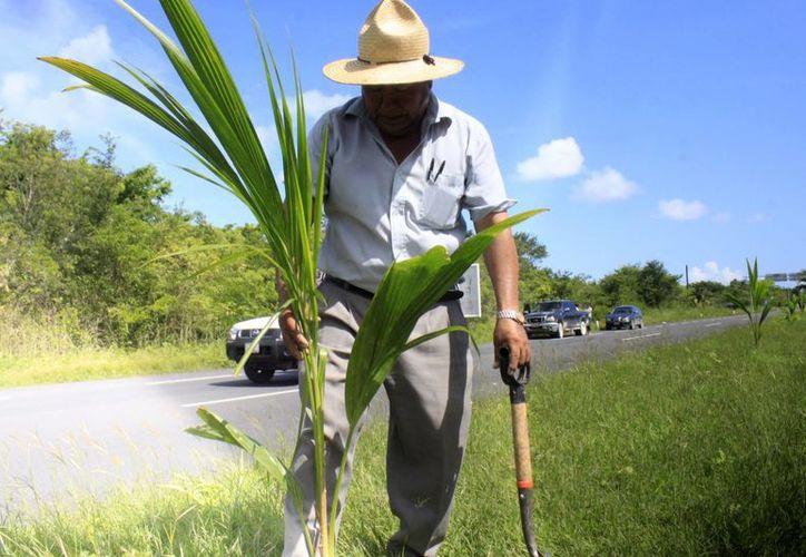 Utilizarán plantas de coco y moringa: pueden ser aprovechadas por la población. (Harold Alcocer/SIPSE)
