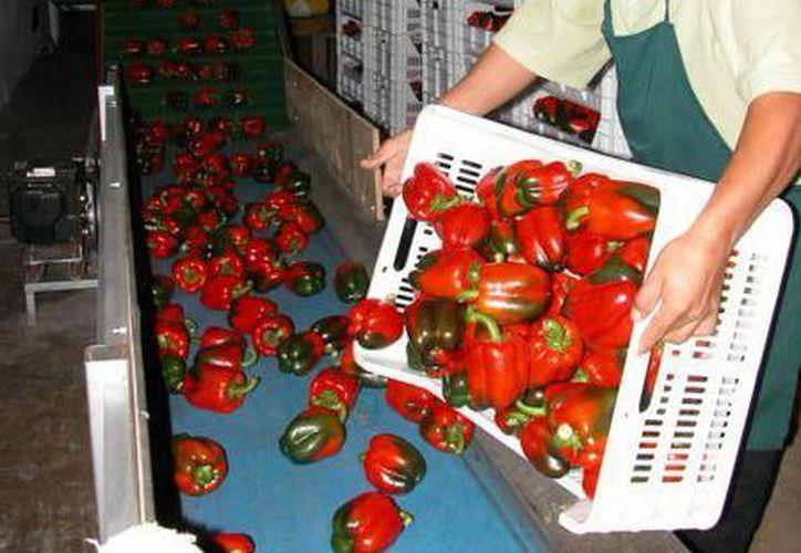 El único cultivo que se practica en los invernaderos es el chile habanero. (Manuel Salazar/SIPSE)