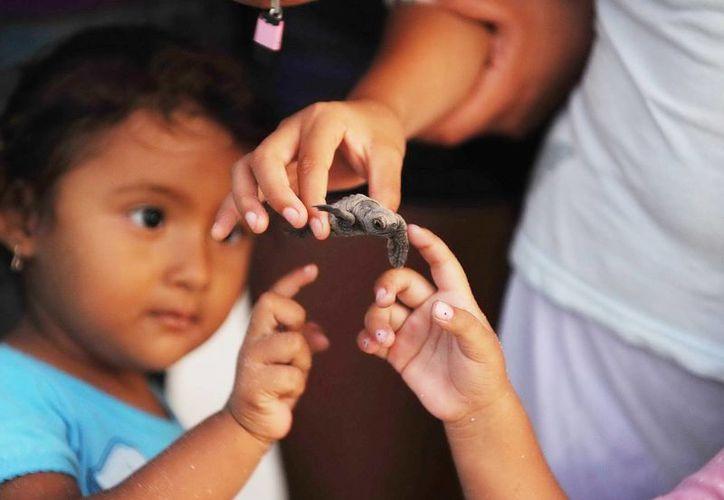 Una niña mira una de las crías de las tortugas de carey que llegan a costas yucatecas. (Milenio Novedades)