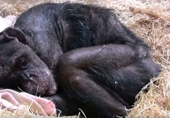 Antes de morir y encontrarse con su cuidador, la Dama de los Chimpancès no comía.