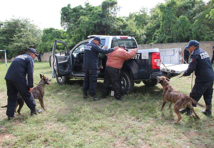 El equipo canino de la Policía Estatal Preventiva de Quintana Roo ha ligrado la detección de hasta cinco personas en un día. (Daniel Tejada/SIPSE)