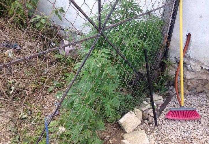 Un vecino que tenía plantas de marihuana, en su jardín, en Chicxulub Puerto, fue detenido por la Policía Municipal. (Gerardo Keb/Milenio Novedades)