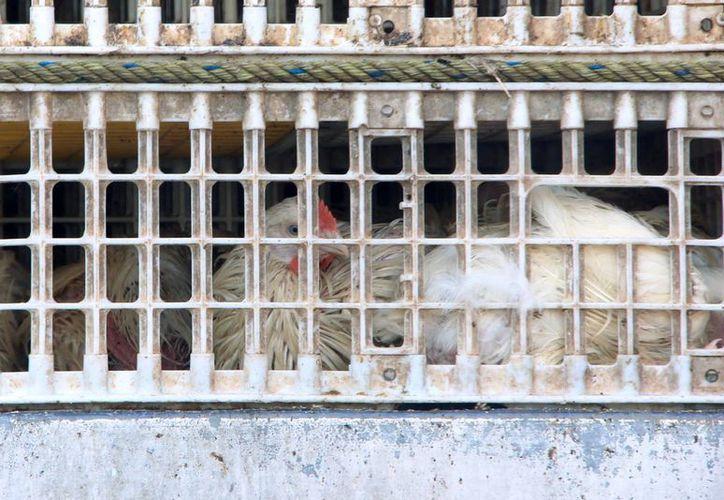 La producción avícola de Yucatán se encuentra en resguardo sanitario total (José Acosta/SIPSE.com)