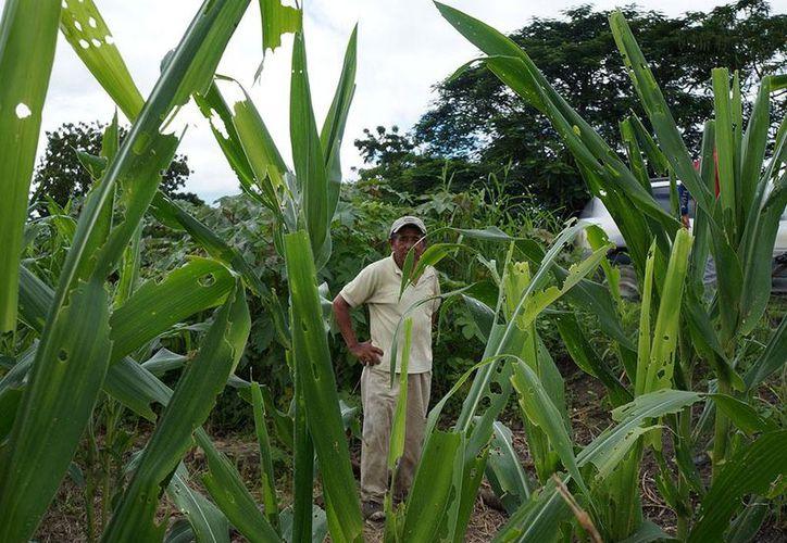 Señalan la importancia de revisar continuamente los sembradíos desde su etapa inicial, para corroborar que se desarrollen en las mejores condiciones. (Carlos Castillo/SIPSE)