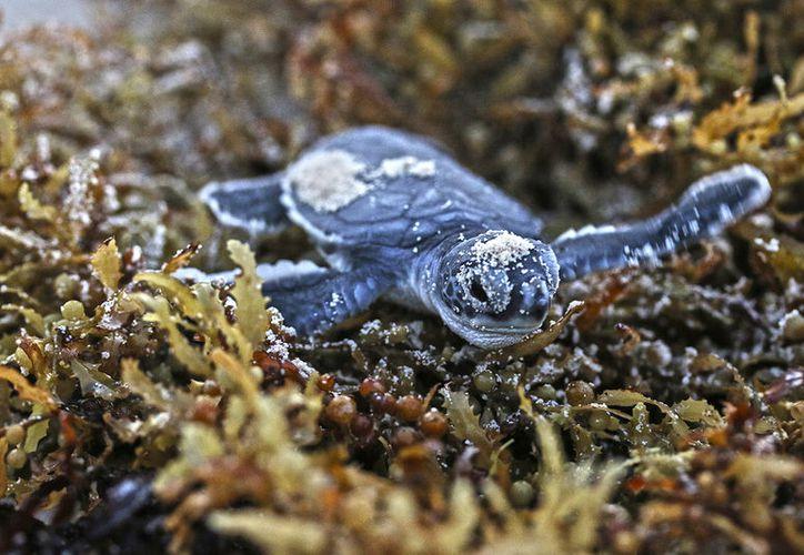 Ambientalista lamenta que el Ayuntamiento de Cozumel no cuente con personal capacitado para cuidar a las tortugas marinas. (Foto: Gustavo Villegas)
