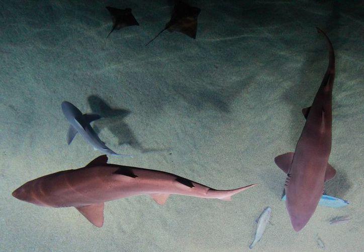 Las especies que serán protegidas son los tiburones ballena, peregrino, mako y mako aleta larga. (EFE)