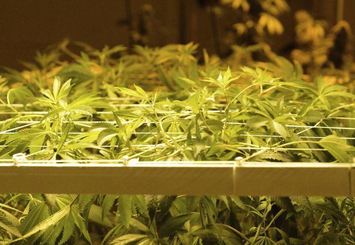 Según información de la Municipalidad, Denver cuenta con 421 negocios relacionados con la marihuana, lo que lo convierte en el principal mercado de venta de marihuana legal en el estado de Colorado. (EFE/Archivo)