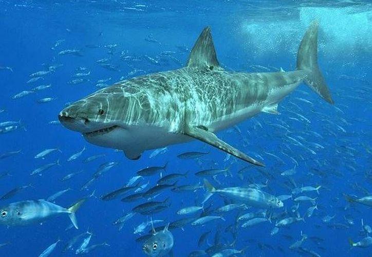 Los tiburones se acercan a las costas de Florida como parte de su migración anual. (www.rpp.com/Archivo)