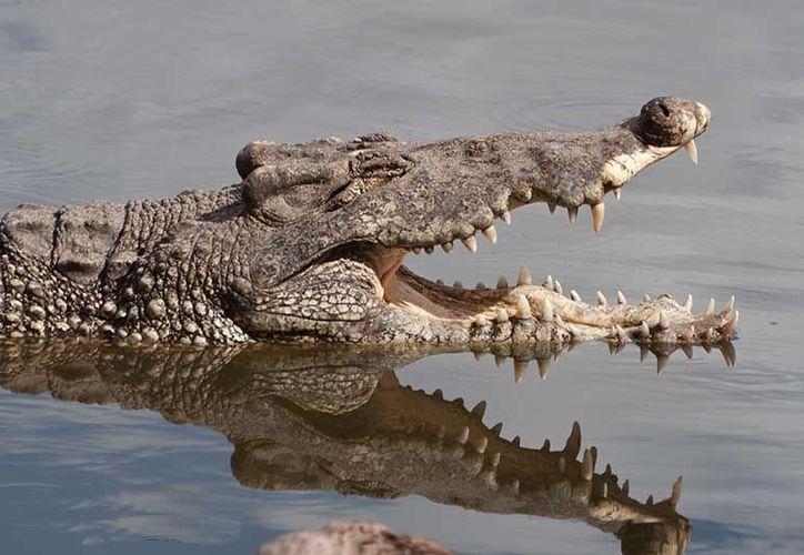 El proyecto se logró luego de dedicarse durante varios años a la cría de este reptil. (wordpress.com)