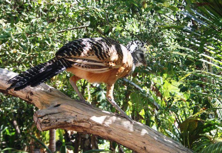 El hocofaisán dejó de observarse en su forma silvestre en la Península de Yucatán desde hace 10 años. (Octavio Martínez/SIPSE)