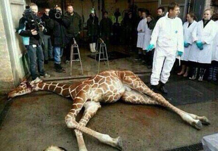Por coincidencia, las dos jirafas de los zoológicos daneses se llaman Marius. (Agencias)