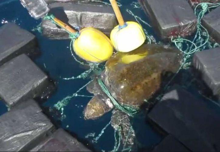 La tortuga quedó atrapada en fardos de droga lanzados al mar por traficantes descubiertos por la Guardia Costera. (Foto: Captura de video)