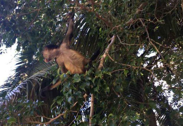 La especie sufre agresiones al deambular por el área urbana. (Octavio Martínez/SIPSE)