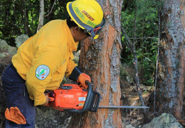 Capacitarán al personal que derribará los pinos. (Jesús Tijerina/SIPSE)