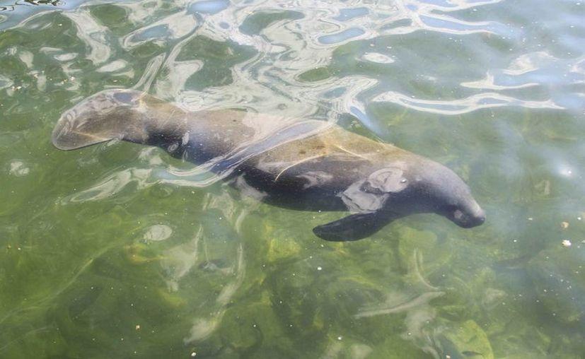 El manatí es un mamífero acuático común en las costas de Quintana Roo. (Claudia Martín/SIPSE)