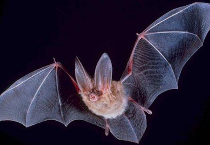 Los murciélagos son los animales que más enfermedades pueden transmitir. (Milenio.com)