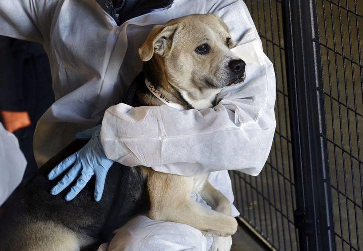 """Según  los investigadores, desde hace años, perros y humanos se benefician de """"tratamientos cruzados"""" para combatir enfermedades. (Agencias)"""