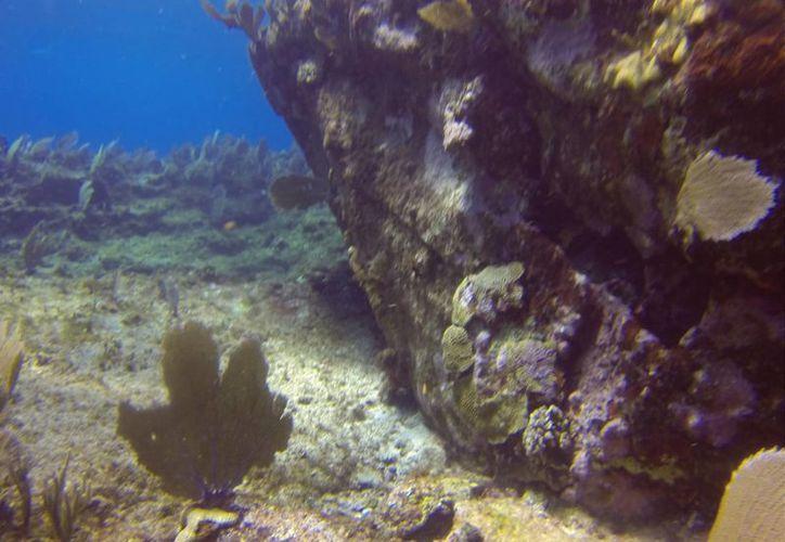 Los resultados futuros serán reflejados en la construcción de miles de colonias de corales. (Redacción/SIPSE)