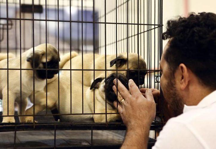 Las agrupaciones fomentan la adopción antes que la compra de perros. (Milenio Novedades)