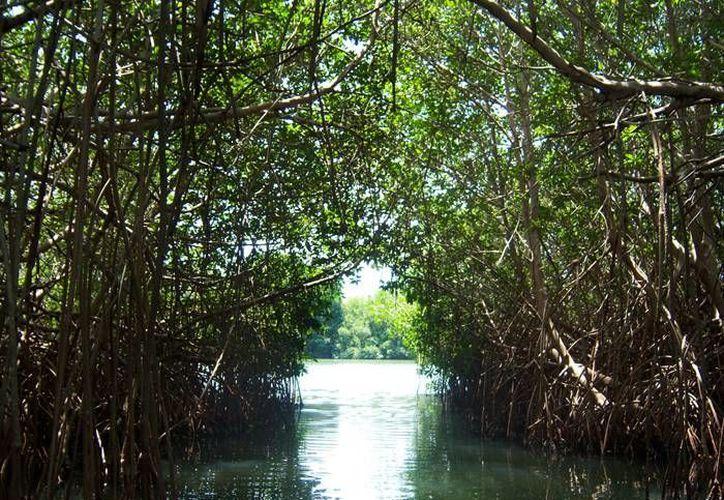 Los manglares son una barrera natural que ayuda a aminorar los fuertes vientos de los huracanes. (Foto de contexto/Internet)