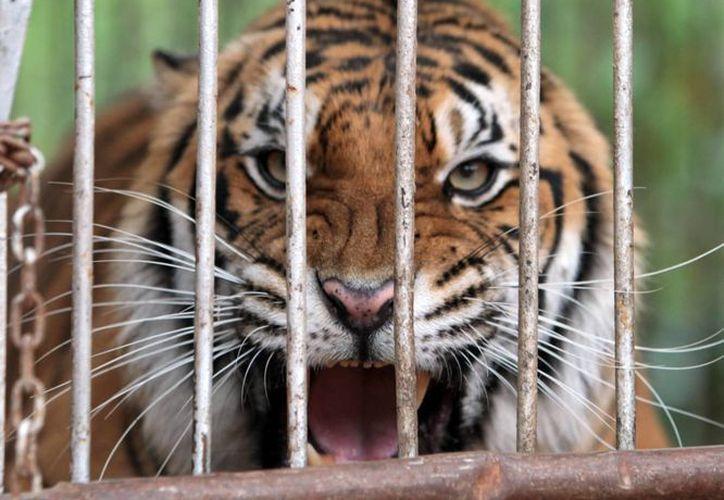 Un tigre malasio mató este viernes a una trabajadora del Zoológico de Palm Beach, en Florida. La imagen cumple funciones estrictamente referenciales. (EFE)