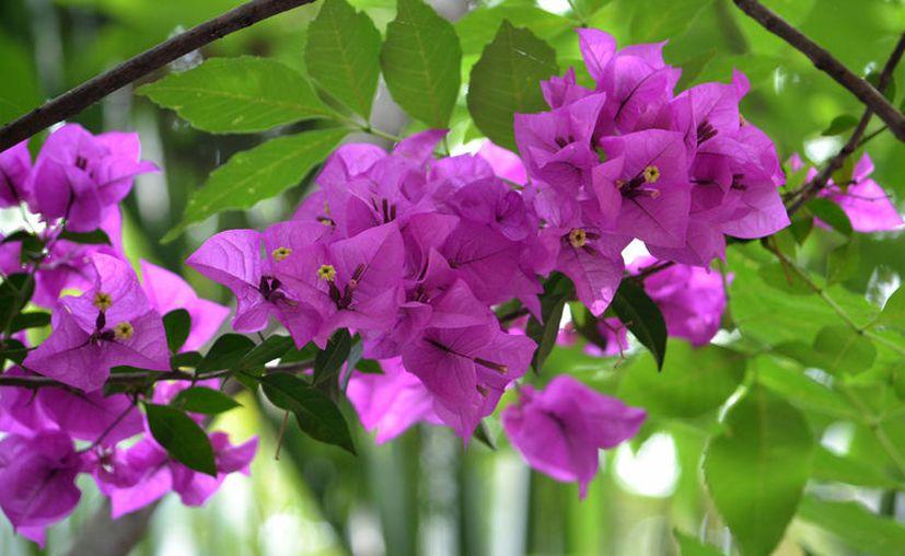 La medicina alternativa indica que esta flor colabora con el correcto funcionamiento de los pulmones y de su capacidad de oxigenar el cuerpo. [Foto: Pixabay]