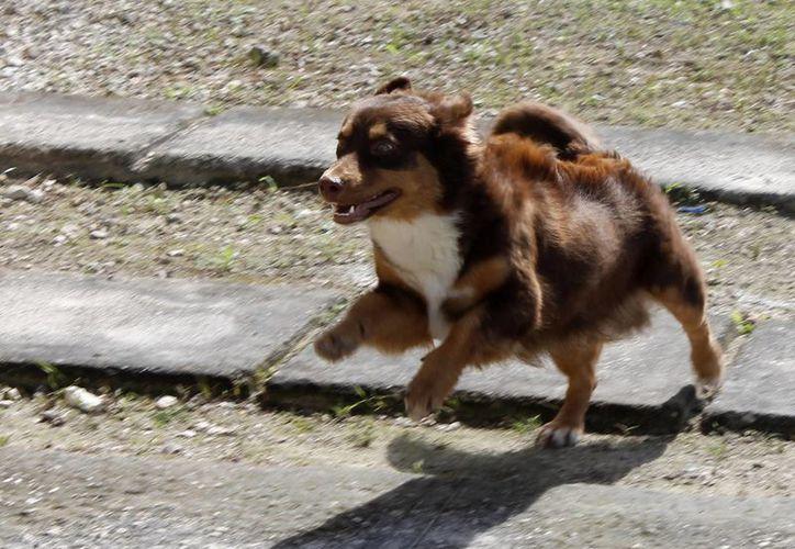 Piden acudir con una correa para llevarse a las mascotas y para evitar que escapen. (Redacción/SIPSE)