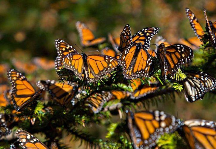 En términos generales este año fue bueno para las mariposas. (skyalert)