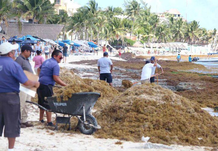 Dos cuadrillas de trabajadores municipales trabajan en la limpieza de la costa por el arribo de sargazo. (Foto: Daniel Pacheco/SIPSE)