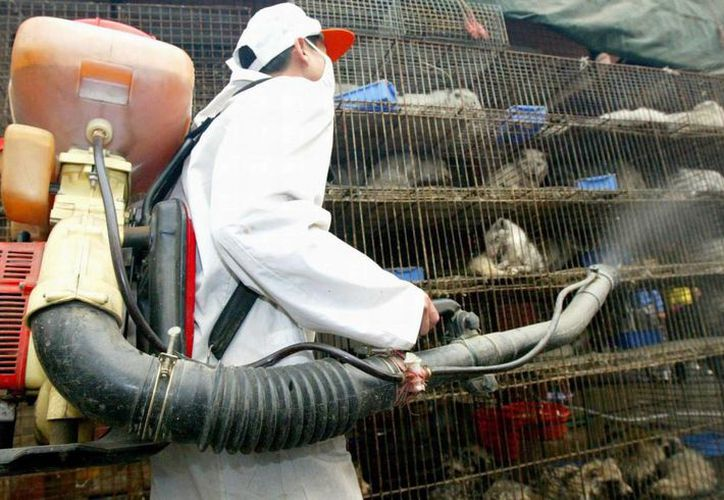 Un trabajador sanitario desinfecta varias jaulas que contienen gatos y otros animales felinos en Guangzhou, en China. (EFE/Archivo)