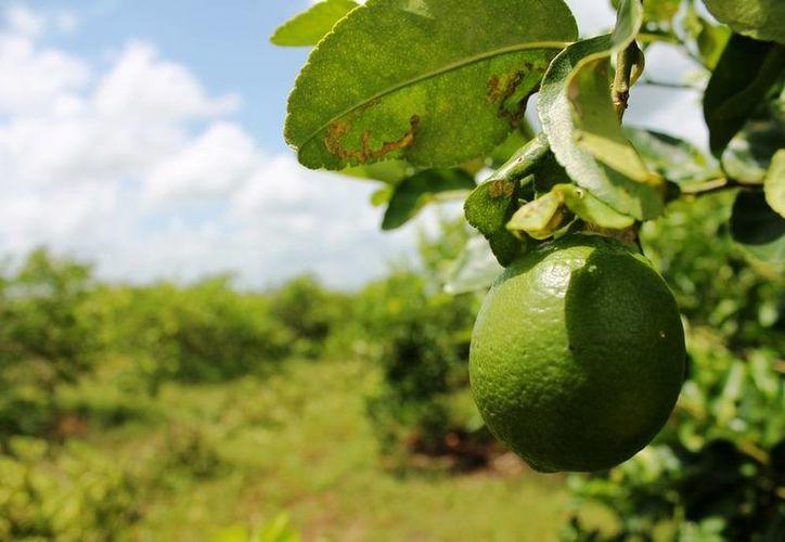 La demanda del limón ha tenido mucho auge, sobre todo por las altas temperaturas. (Edgardo Rodríguez/SIPSE)