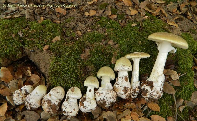 Los síntomas tempranos de intoxicación por el hongo,  incluyen náuseas, vómitos y diarrea. (Foto: Contexto/Internet)