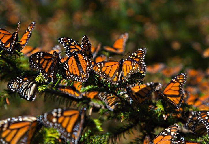 El reporte incluye por primera vez subespecies como una variante particular de la mariposa monarca. (Ecoosfera)