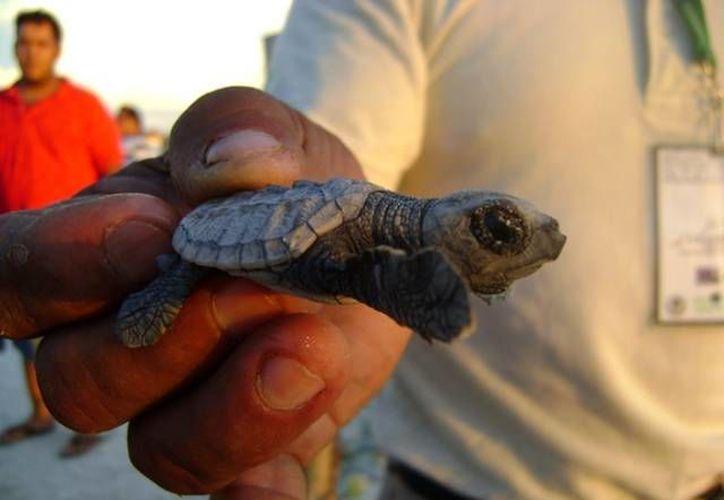Cuando las tortugas dejan el nido bajo la arena es cuando se les libera en el mar, teniendo a los niños como invitados especiales. (seduma.yucatan.gob.mx)