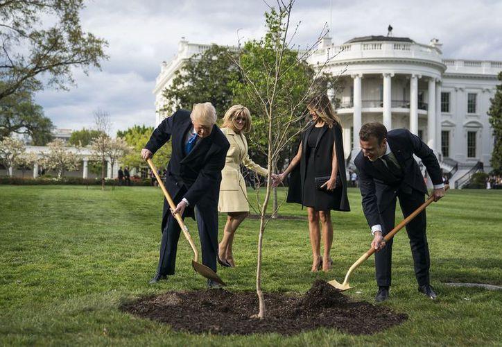 El árbol hubo de ser trasplantado de forma casi inmediata a otro lugar para ser puesto en cuarentena. (Internet)