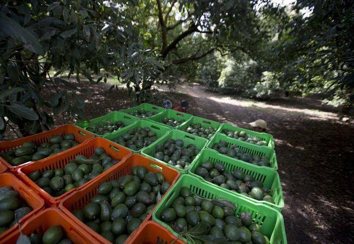A pesar de no figurar en los productos de la canasta básica, el aguacate figura en muchas mesas mexicanas. (Archivo/Agencias)
